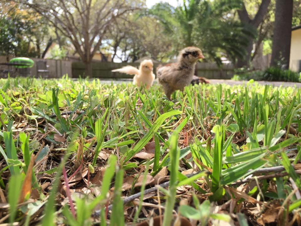 rahab running baby chickens