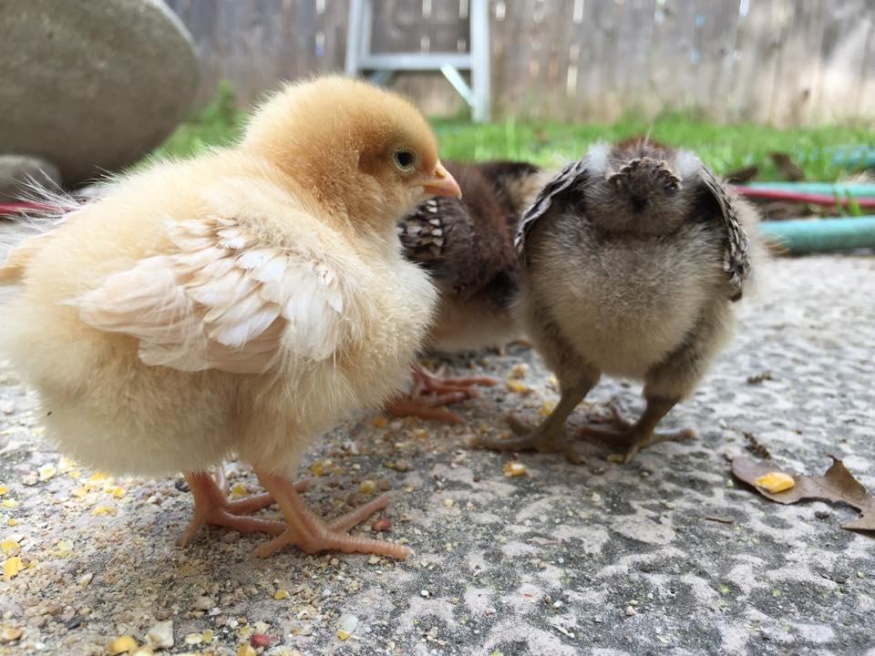 baby chicks ruth