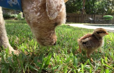 Buying Baby Chicks for the First Time at Callahan's in Austin  #video
